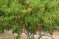 derevo-persika-sorta-redheyven-5
