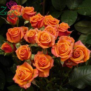 роза Бэби